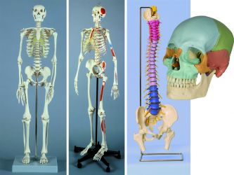 Anatomische Modelle, Skelette etc.