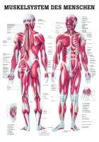 --Anatomietafel «Muskelsystem des Menschen» laminiert