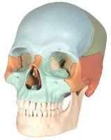 --Zerlegbarer Schädel mit Magnetverbindungen, 18-teilig, pastellfarbige Schädelknochen