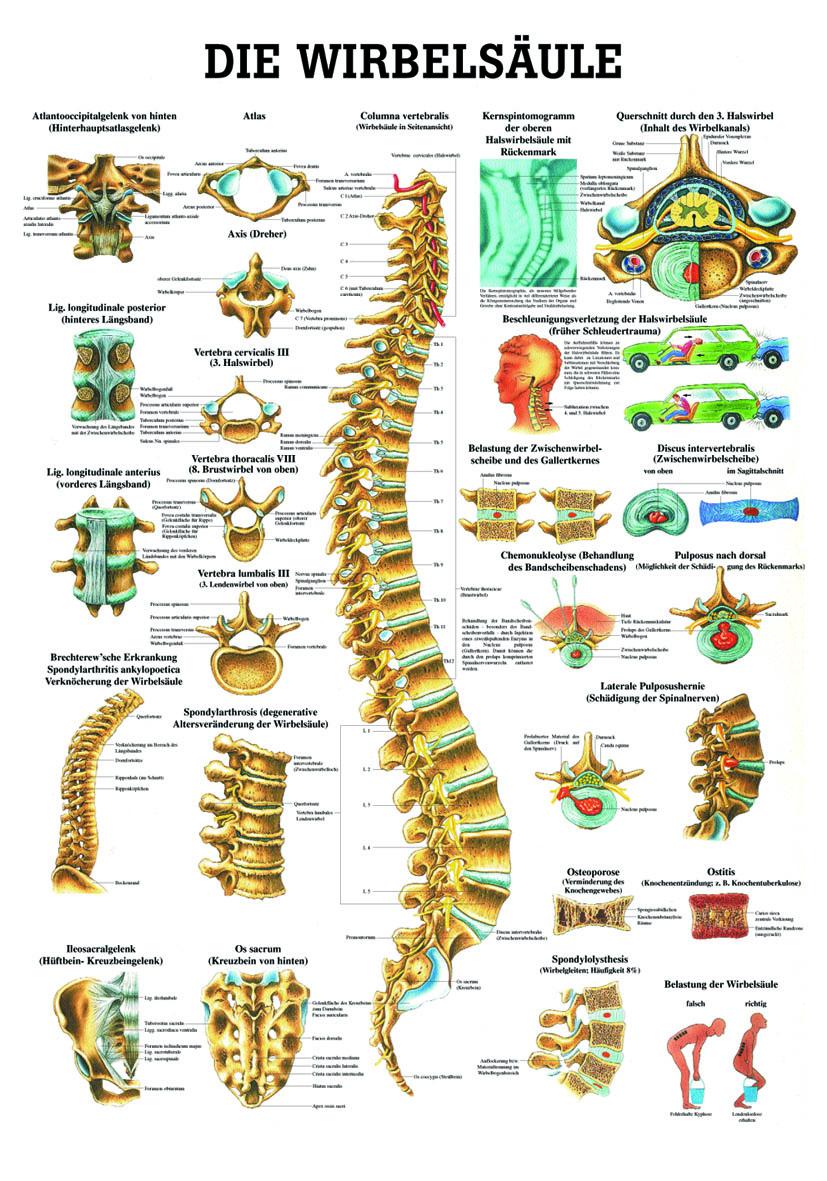 Anatomieposter «Die menschliche Wirbelsäule» laminiert
