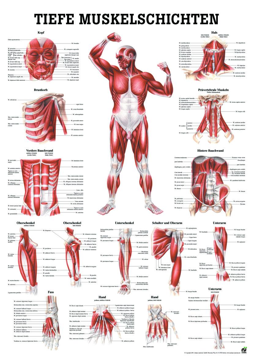 Anatomieposter «Tiefere Muskulatur Frontansicht» laminiert