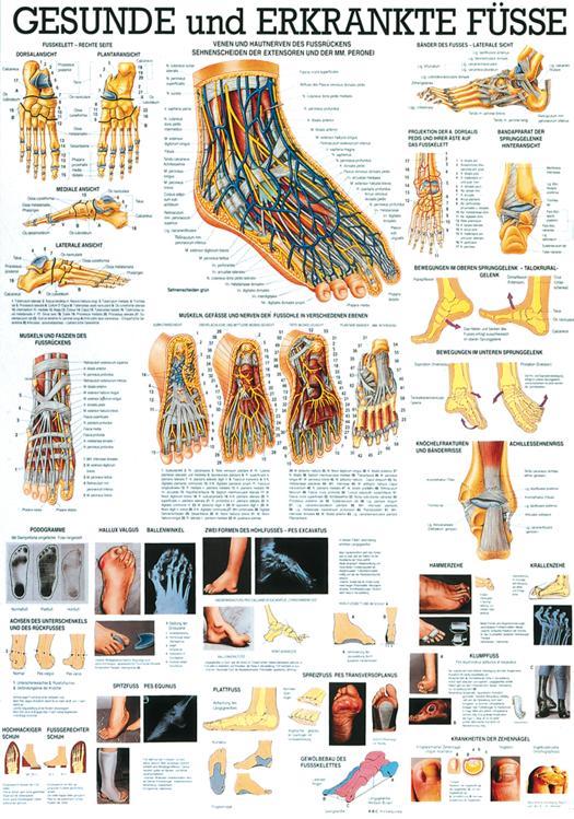 Anatomie-Poster «Der menschliche Fuss» 70 x 100 cm, lminiert