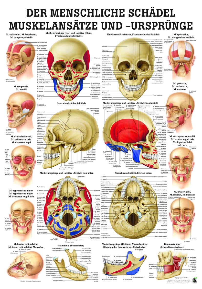 Anatomie Lehrtafel «Muskelansätze & Ursprünge Schädel» laminiert