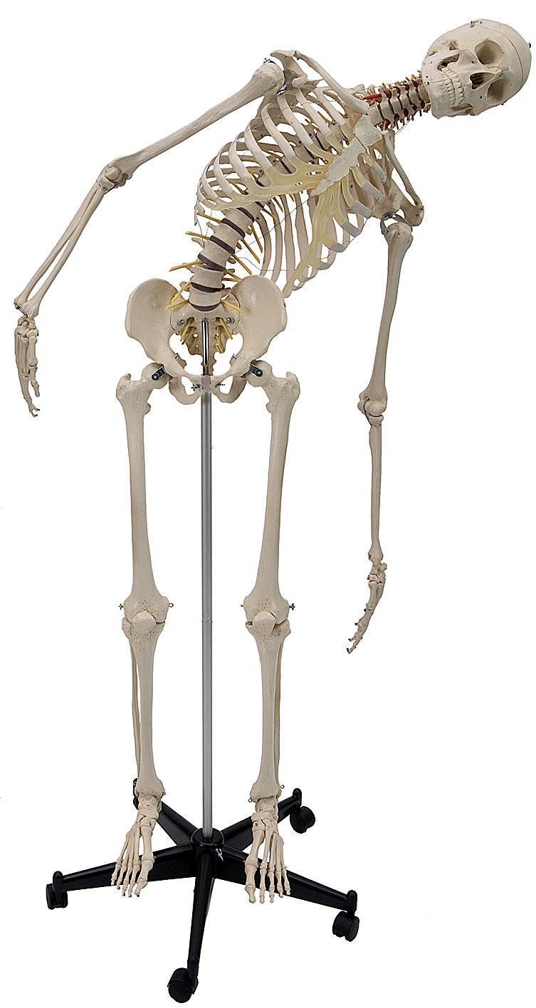Menschliches Skelett mit flexibler Wirbelsäule A200.2